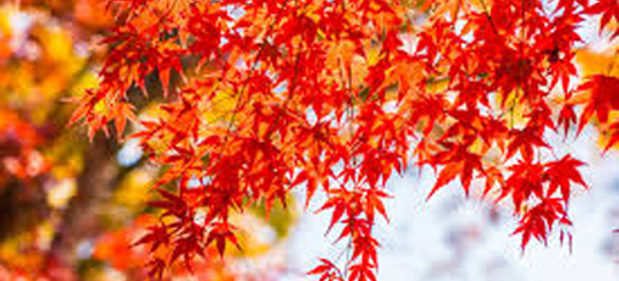 RED MAPLE, OUR NEW BONSAI TREE
